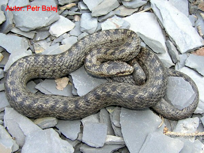фото змеи медянки и гадюки